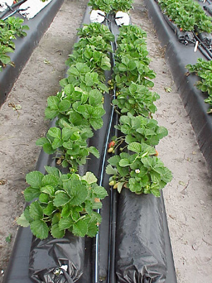 Stawberries being grown in perlite growbags