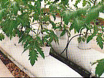 Tomato vines in perlite grow bags