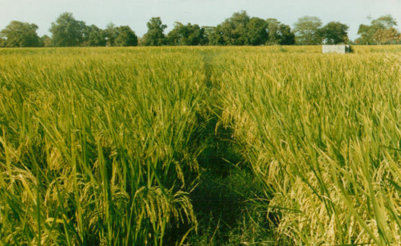 Field Crops Rice a Field of Rice Grown With