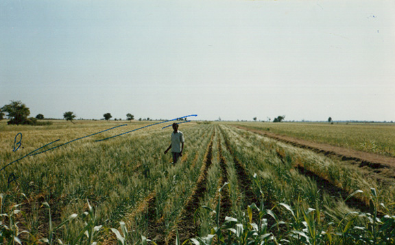 Field Grown Wheat in Jambusar, India