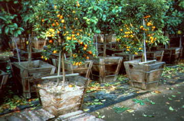 With The Sides Removed, The Extensive Root System Of These Citrus Trees  Grown In 100% Perlite Can Be Seen.